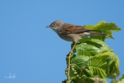 Grasmus / Common White-throat (Sylvia communis)