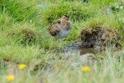 Watersnip / Common Snipe (Gallinago gallinago)
