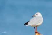 Kokmeeuw / Black-headed Gull (Chroicocephalus ridibundus)