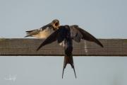 Boerenzwaluw / Barn Swallow (Hirundo rustica)
