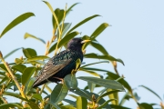 Spreeuw / Common Starling (Sturnus vulgaris)