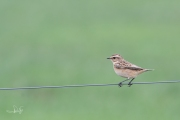 Paapje / Whinchat (Saxicola rubetra)