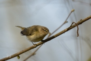 Tjiftjaf / Common Chiffchaff (Phylloscopus collybita)