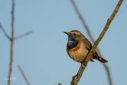 Blauwborst / Bluethroat (Luscinia svecica)