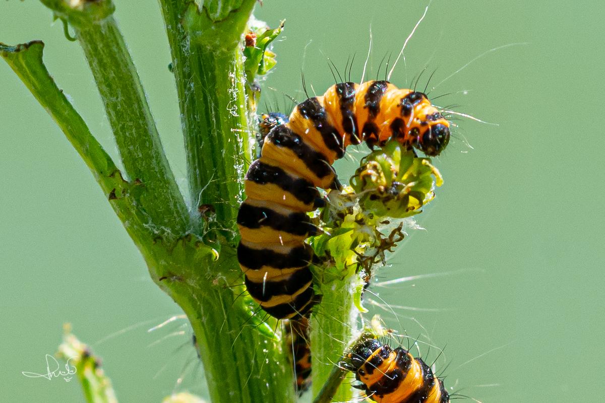 Rups van de sint-jacobsvlinder (Tyria jacobaeae)