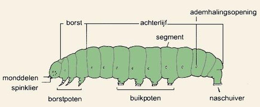 De bouw van een rups (bron: De Vlinderstichting)